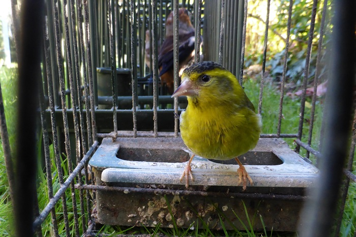 1993 Belgium bans bird catching (here an alder siskin) - the greatest success of CABS to date