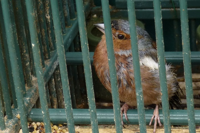 Chaffinch wild birds illegal kept as pets