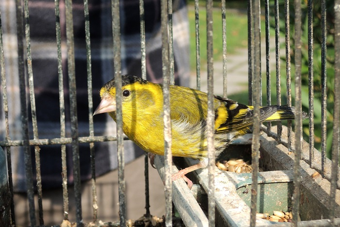 Finches such as Siskins are popular cage birds