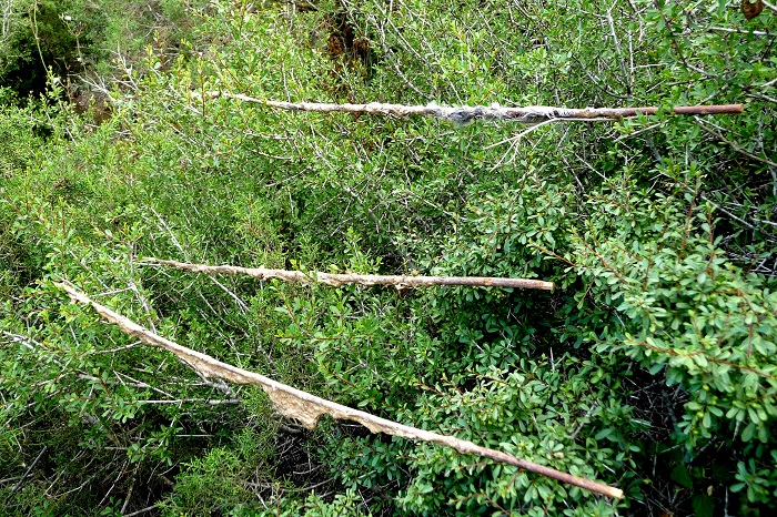 Limesticks in a Cypriot trapping site