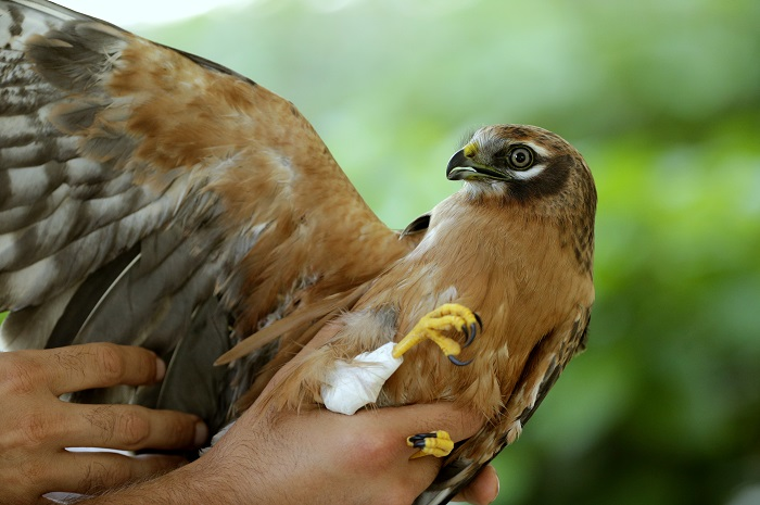 Shot montagu's harrier found by committee members