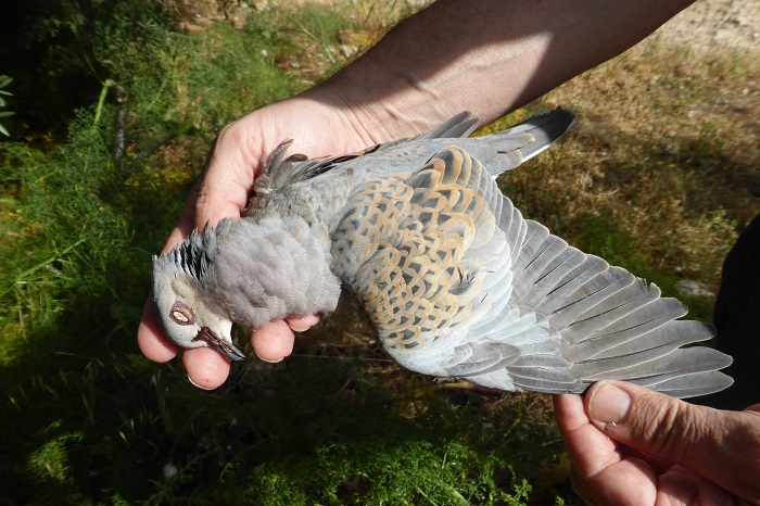Sought-after hunting prey: Turtle Dove