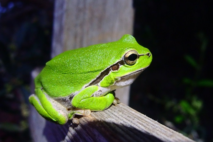 Tree frog - one of the target species of the project