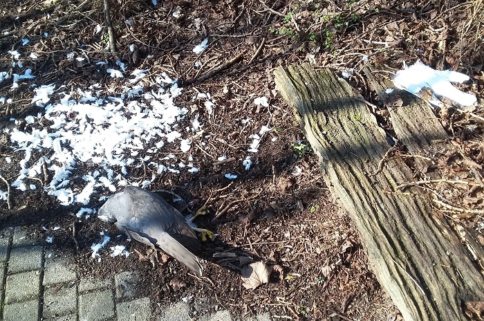 A typical poisoning crime scene: A bird of prey (left) lying next to a bait pigeon (right).