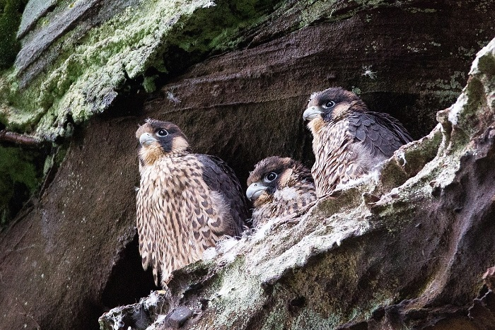 Peregrine falcons at the nest