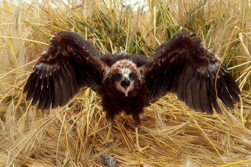 Young marsh harrier from our harrier project in the Rhineland