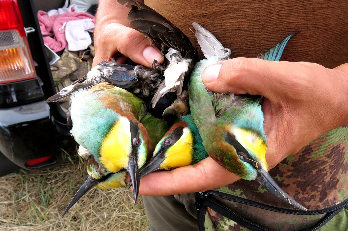 Bee-eaters and swallows seized from a Lebanese hunter
