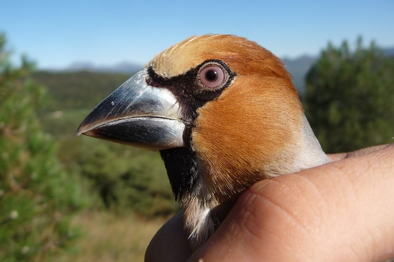 Hawfinch seized from a bird trader in Italy