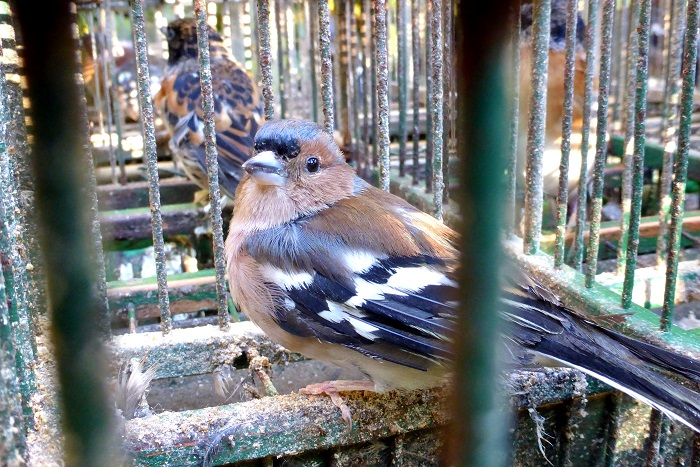 In Italy, chaffinches were not only released for hunting contrary to EU law, but were also caught legally with nets!