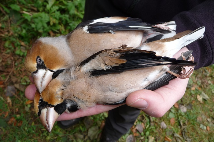 Hawfinches: Protected throughout the EU, shot legally under a derogation in Lombardy.