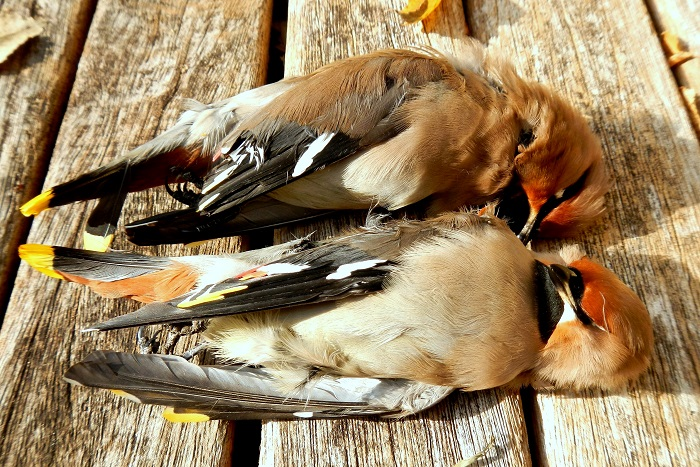Waxwing illegal shot and seized from a hunter in Brescia
