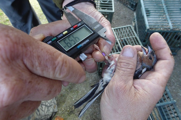 Police officers measure the breeding ring of a chaffinch.