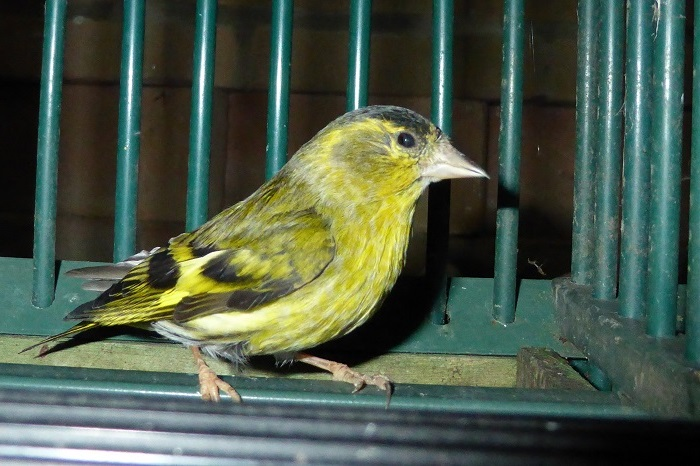 Siskin kept as a cage and aviary bird