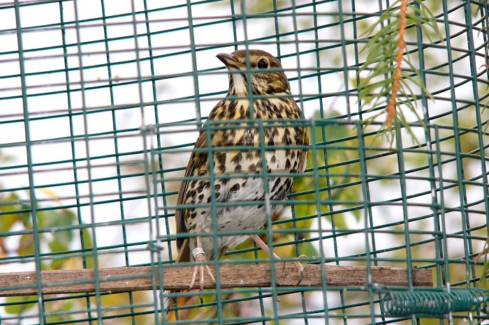 Song thrush as a live decoy in an Italian hunting hide