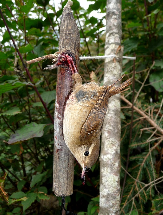 Wren caught in a bow trap