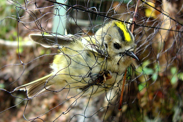 In nets, all birds get caught, not only the hunt able species. Here a goldcrest.
