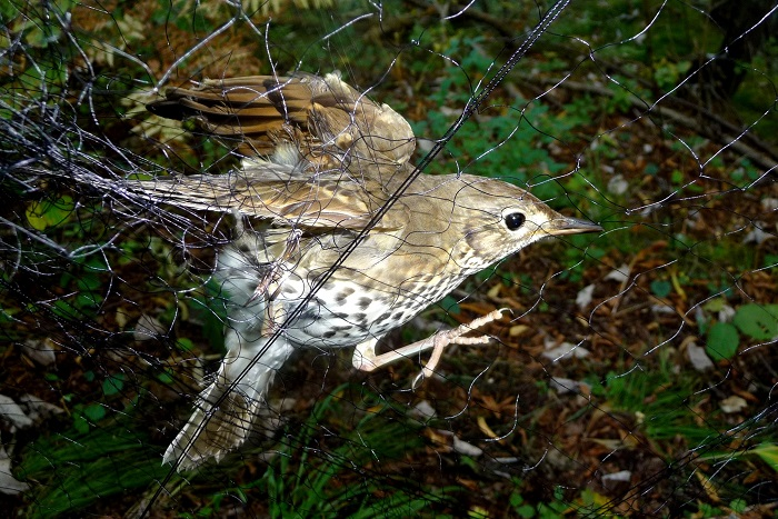 Mainly thrushes such as this song thrush are caught in 'Roccoli'