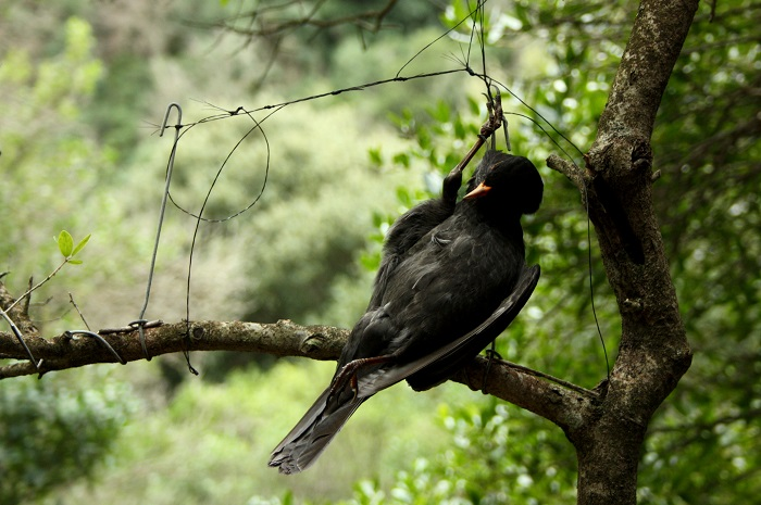 End of the bird migration: Blackbird in a horsehair snare in Sardinia
