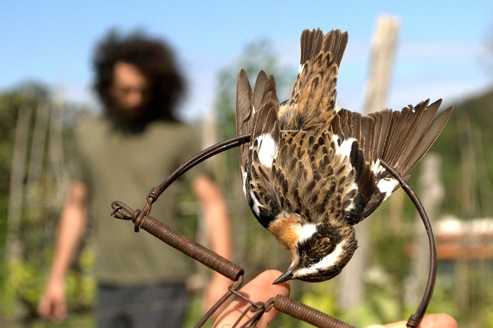 In southern Italy, snap traps are set up to catch whinchat
