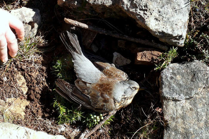 Fieldfare killed in a Stone-crush trap
