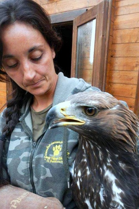 Employee of Modena wildlife rescue centre with a shot Golden Eagle