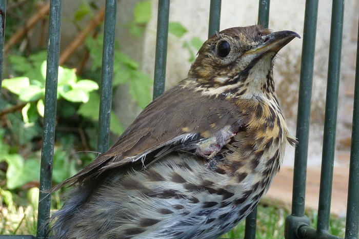 Cruel and confined in the decoy cage: Song Thrush