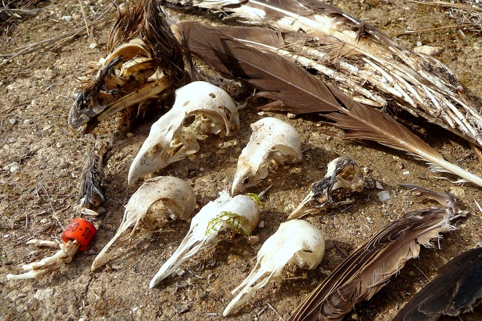 Skulls and feathers of protected bird species found under stones in Mizieb.