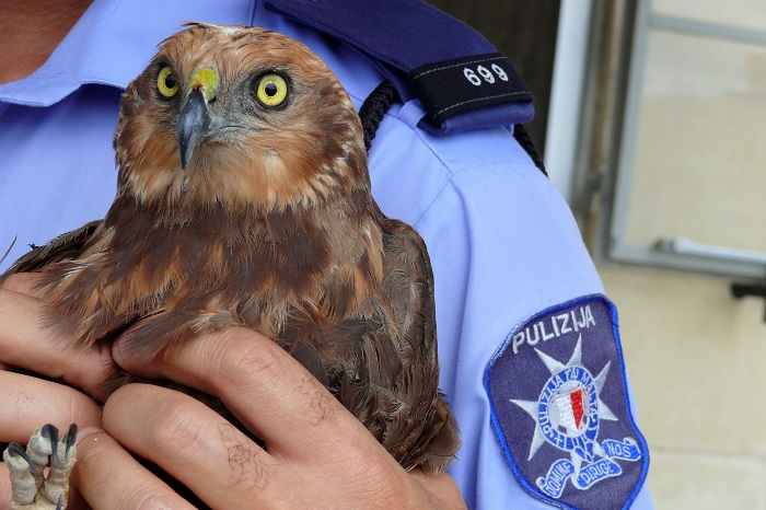 Maltese policeman with shot marsh harrier