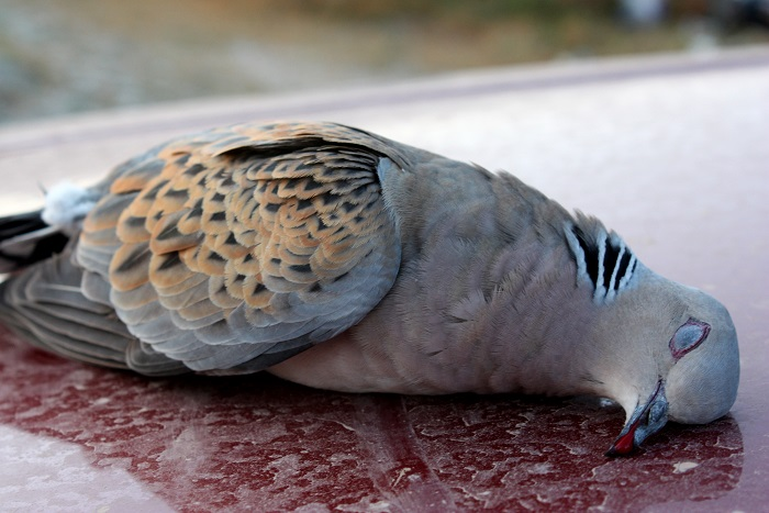 Turtle dove - a challenging target for many hunters