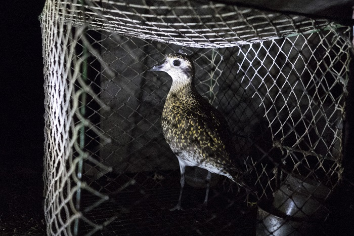 Golden plover as live decoy bird at a trapping site on Malta