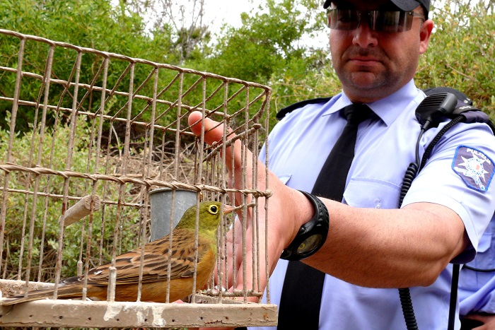 Ortolan bunting seized by the police at a trapping site.
