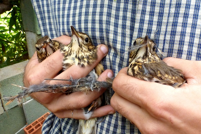 "Song thrushes rescued from a 'Parany' (the limesticks are recognisable as thin ""sticks"")"