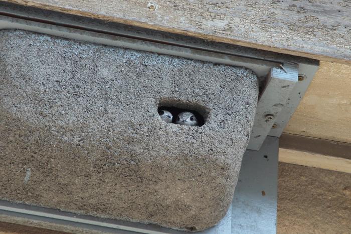 RONDONI CASSETTE per nido in legno massello